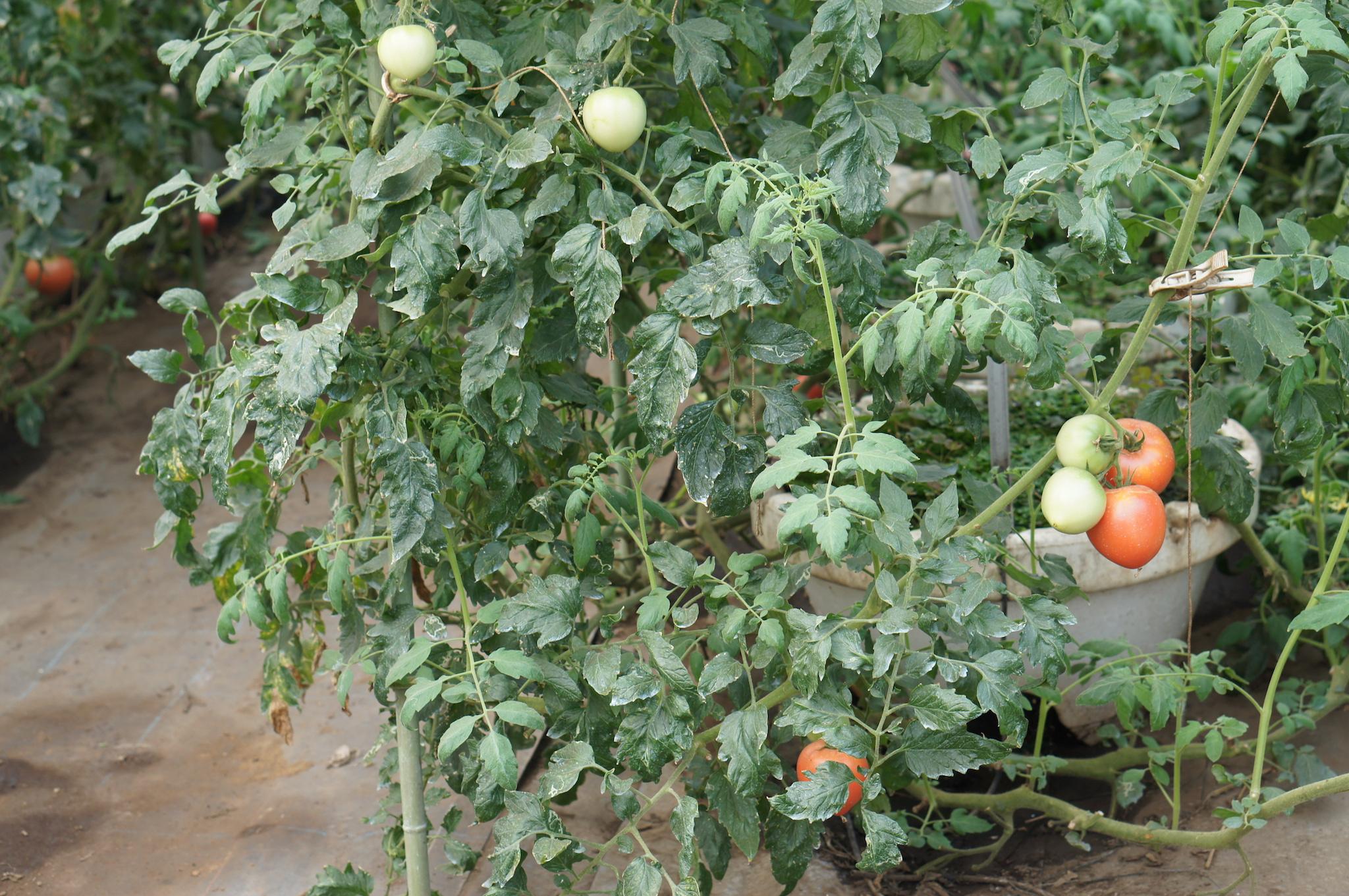 ビニールハウスで収穫前のトマト