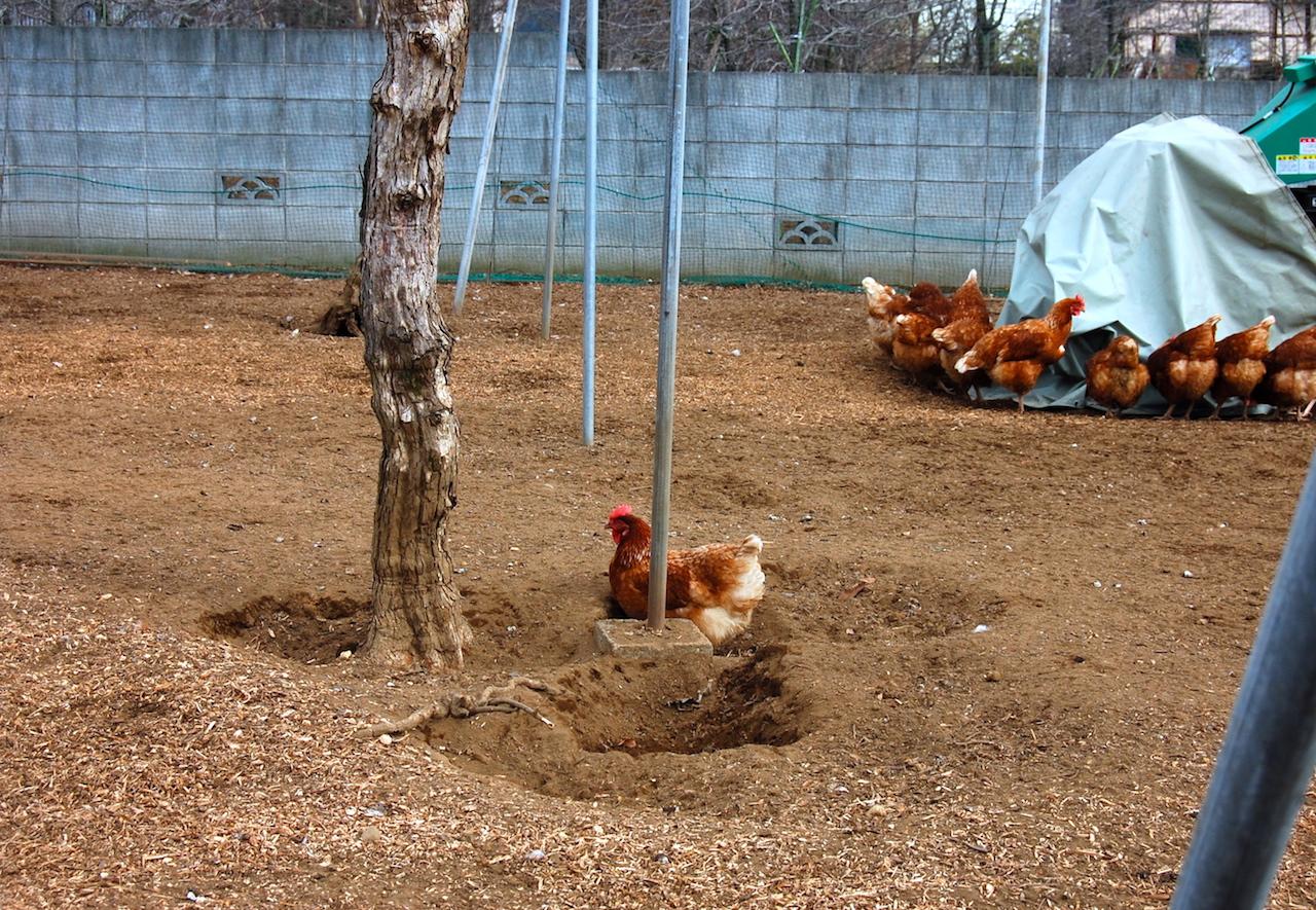 キウイ棚の下は、鶏たちのお陰で草取りの必要がない状態