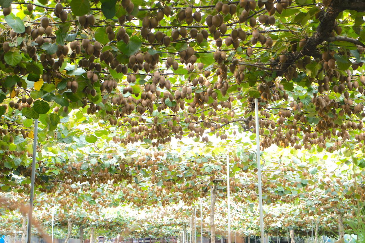 キウイフルーツを生産する棚