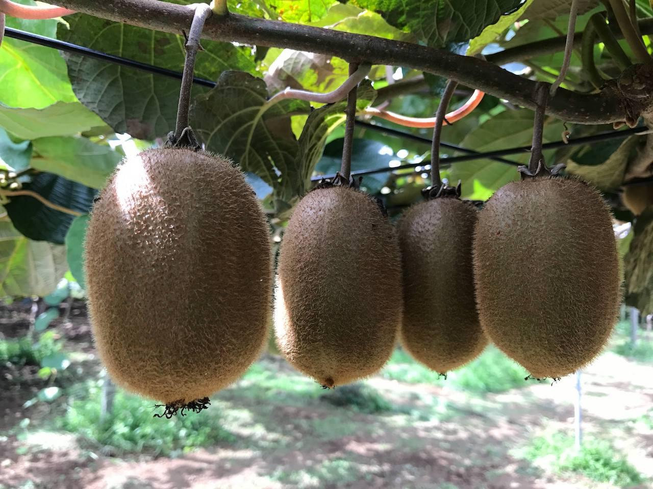 キウイフルーツなどを生産する果樹農家「吉野園」